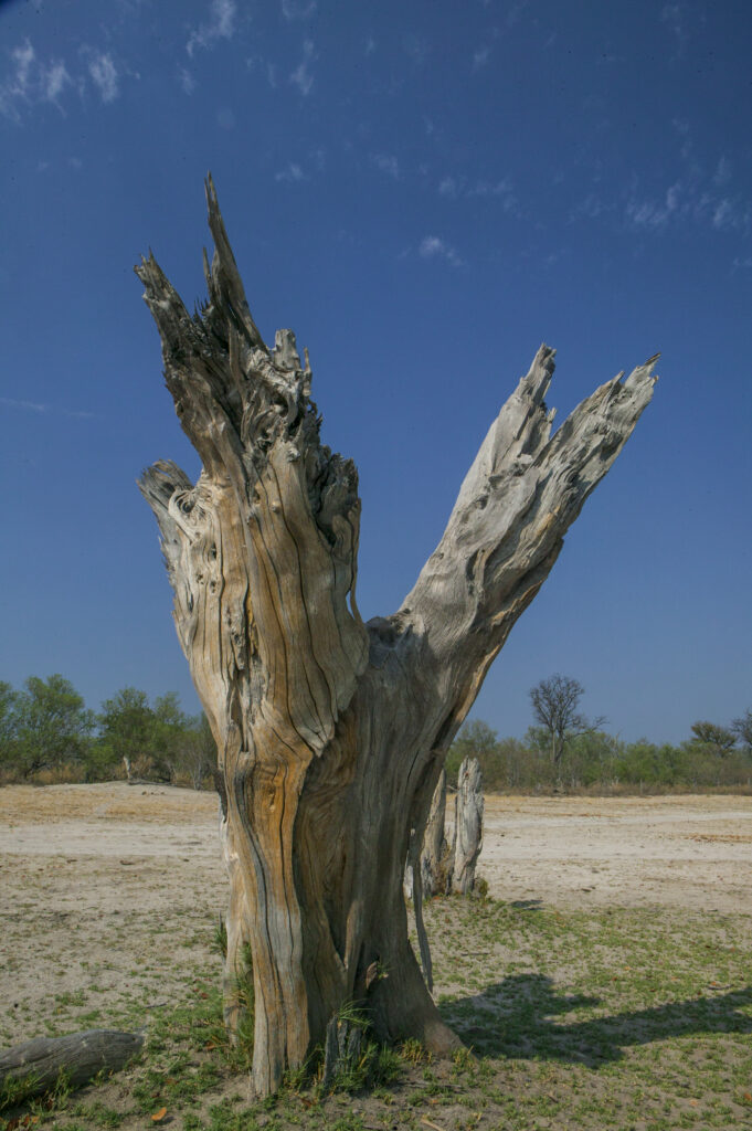 Toter alter Baum in der Namib-Wüste in Namibia (Südwest-Afrika)